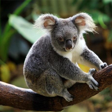 slide-オーストラリア-コアラ[1].jpg