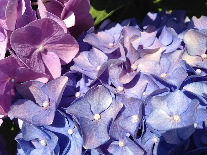 ブログ用 紫陽花.jpg