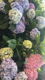 紫陽花 .png