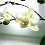 phalaenopsis-150x150.jpg