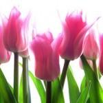 pink-tulip-150x150.jpg